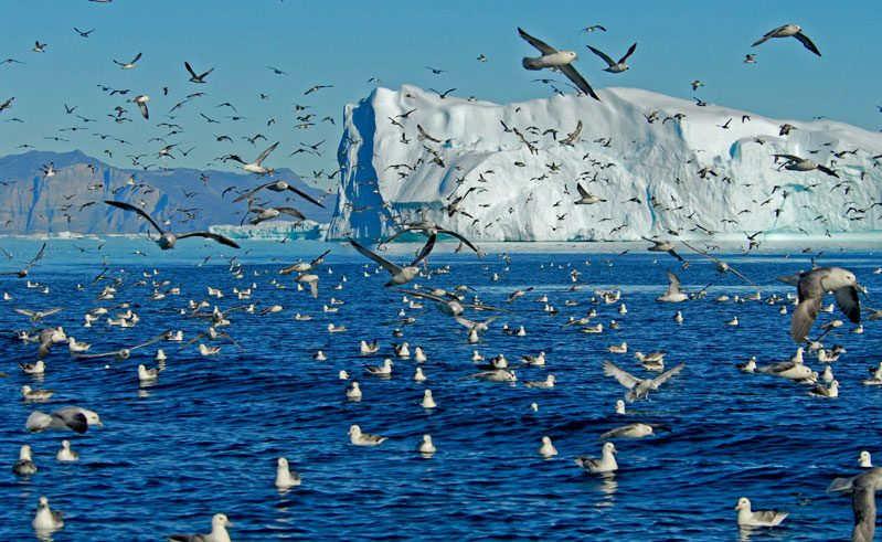 greenland iceberg and seabirds vg