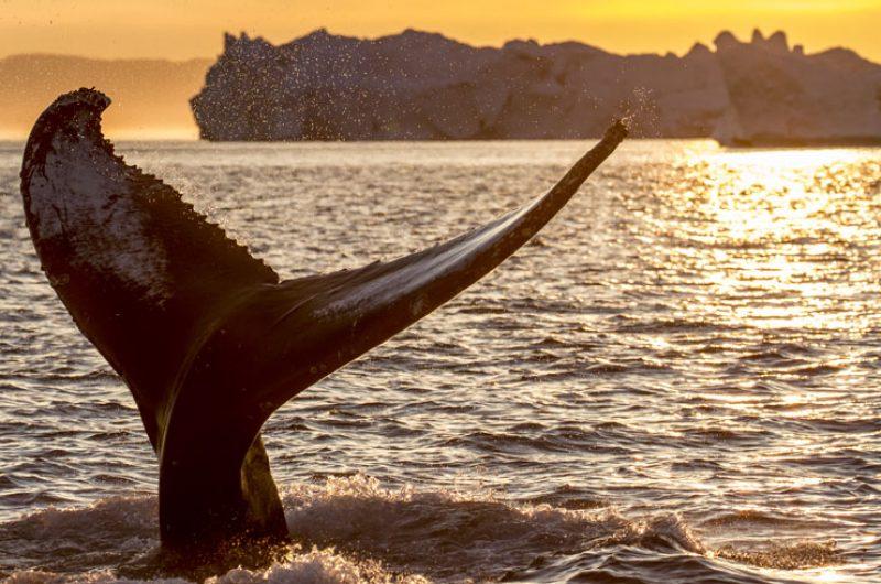 greenland wildlife whale tail midnight sun vg