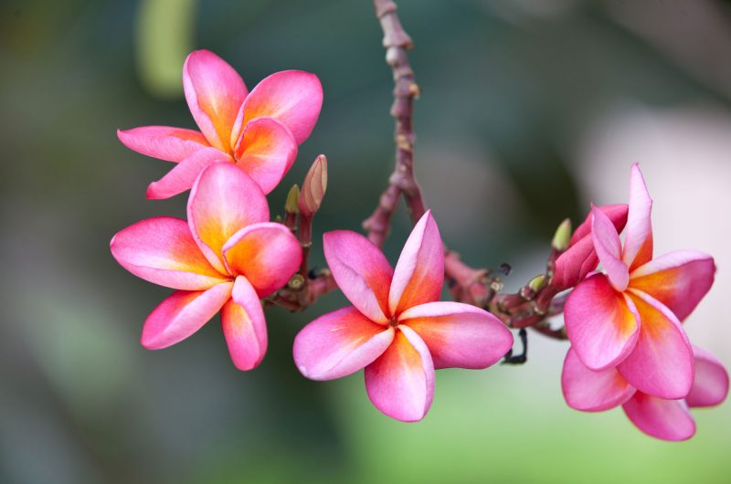hawaii plumeria flowers istk