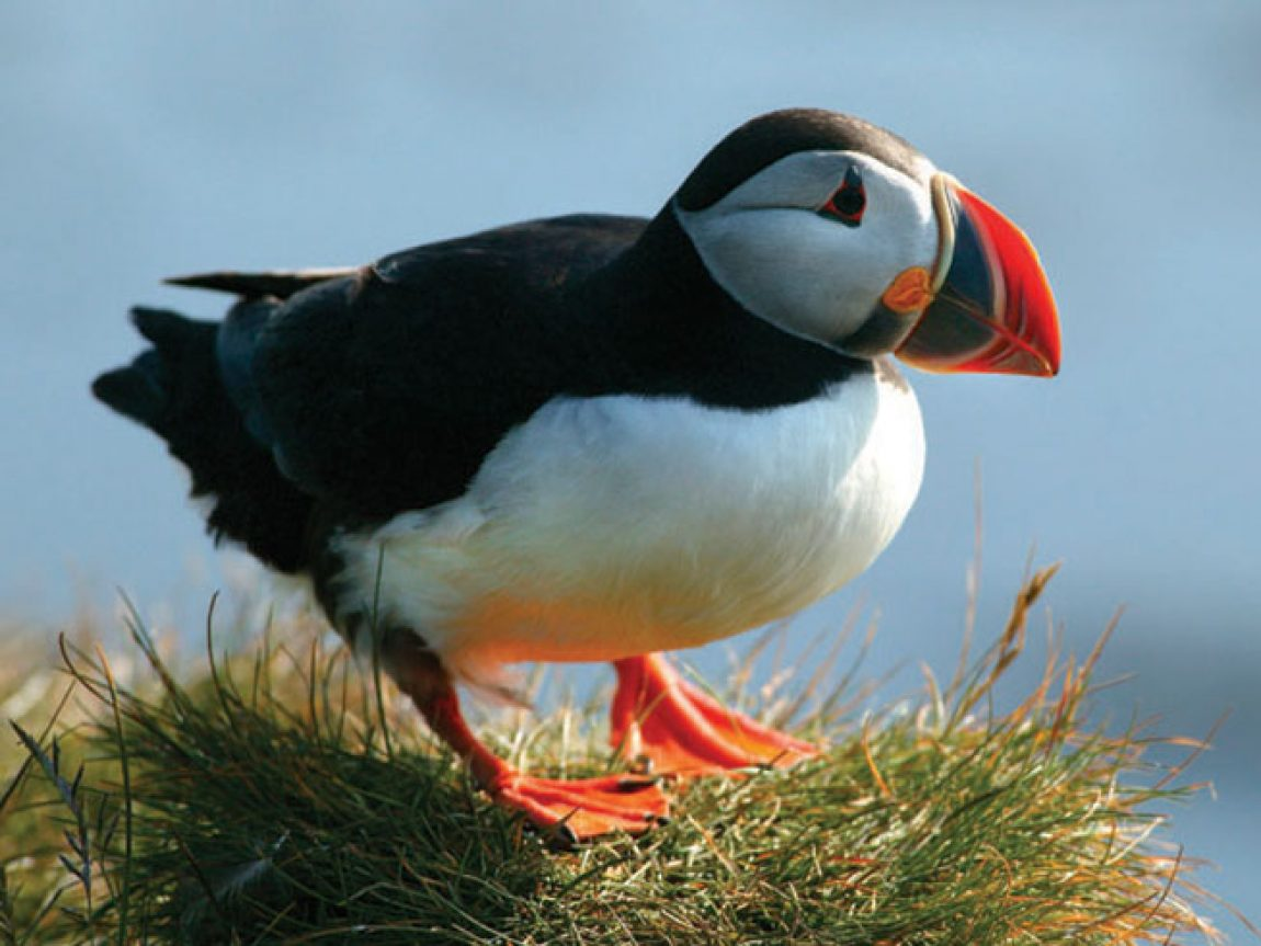 iceland birdlife puffin rth