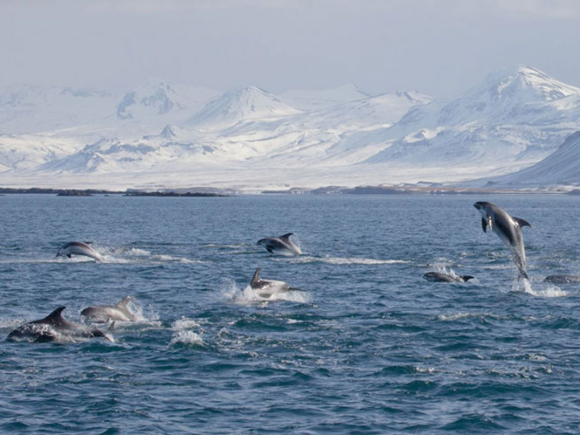 iceland grundarfjordur white beaked dolphins ak
