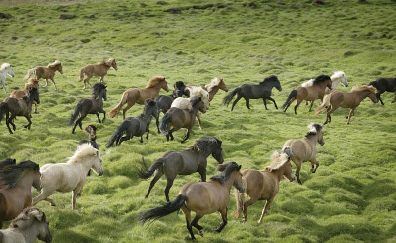 iceland horses2 rth