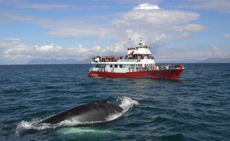 iceland reykjavik whale watching eld