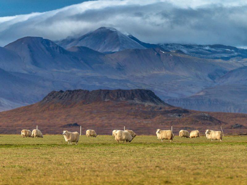 iceland snaefellsnes eldborg sheep rth