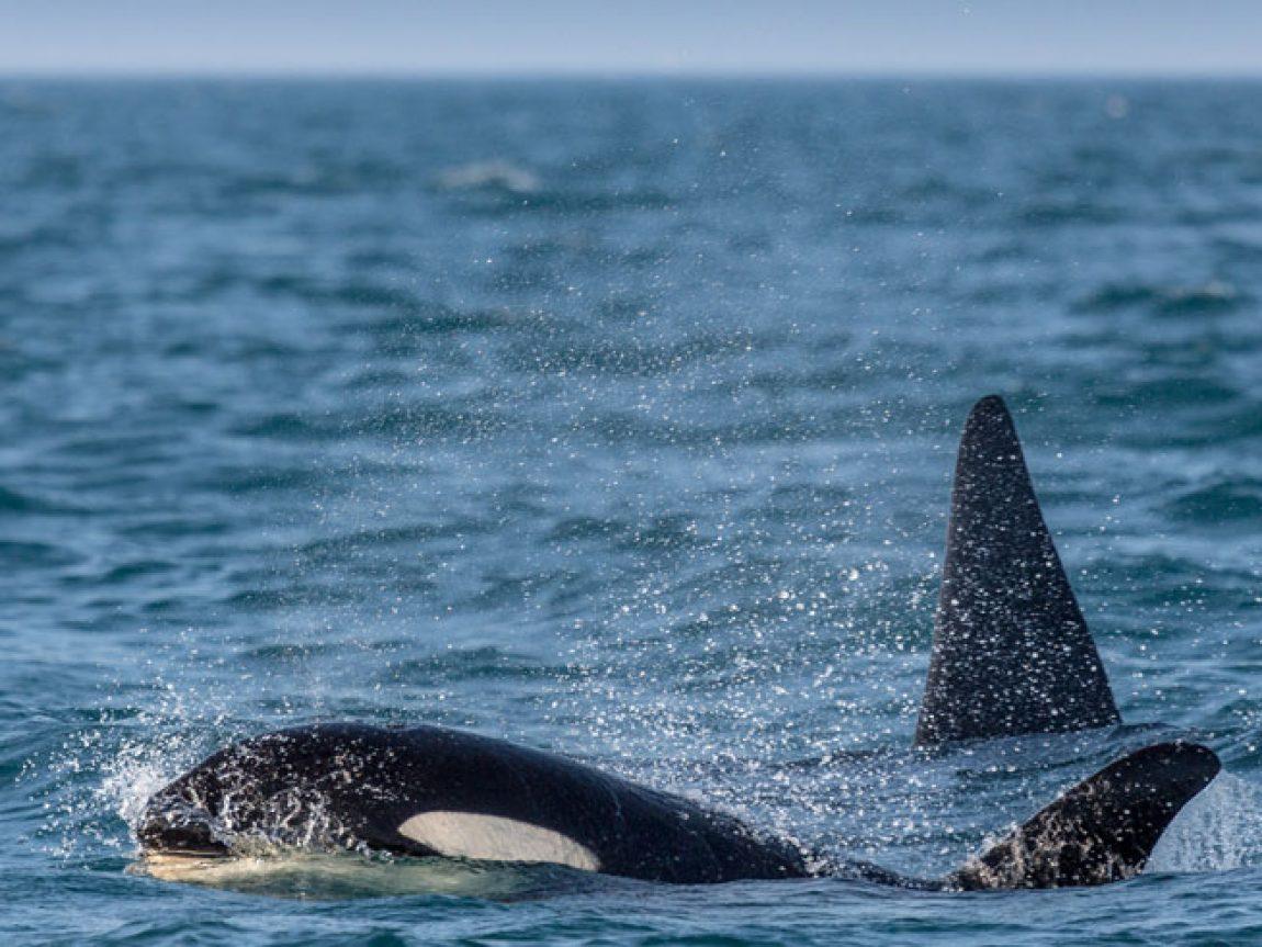iceland snaefellsnes grundarfjordur orcas rth