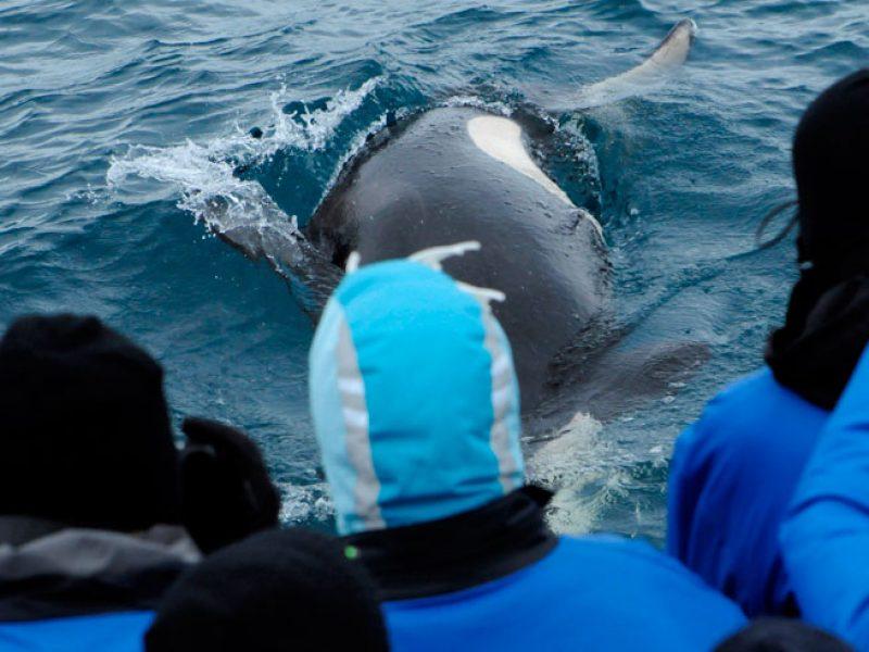 iceland west fjords orca close up laki
