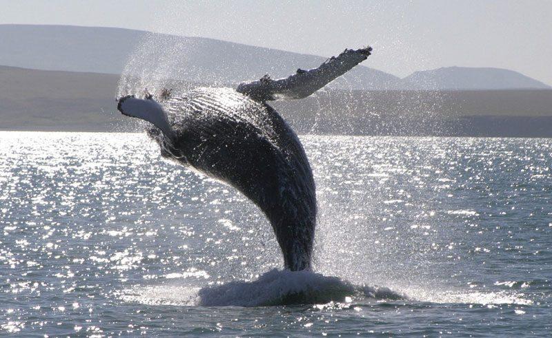 iceland wildlife humpback whale breaching rth