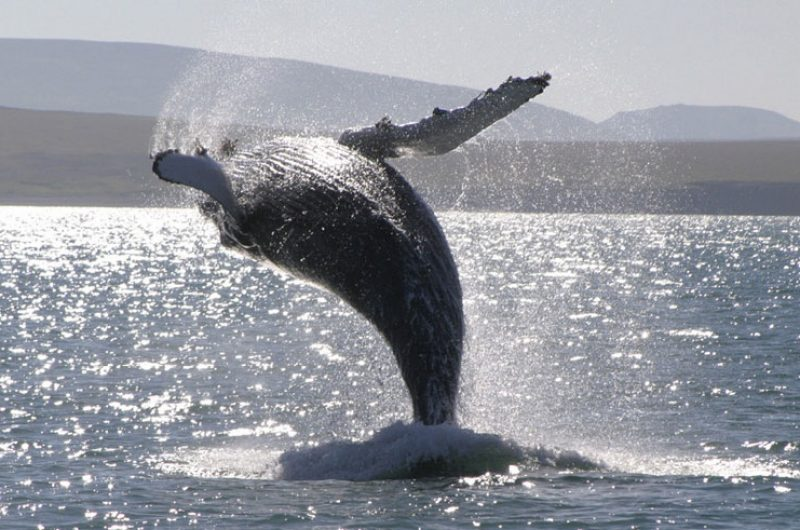 iceland wildlife humpback whale breaching rth