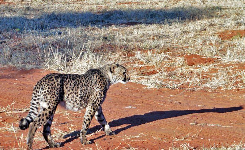 namibia africat carnivore care cheetah drive lh