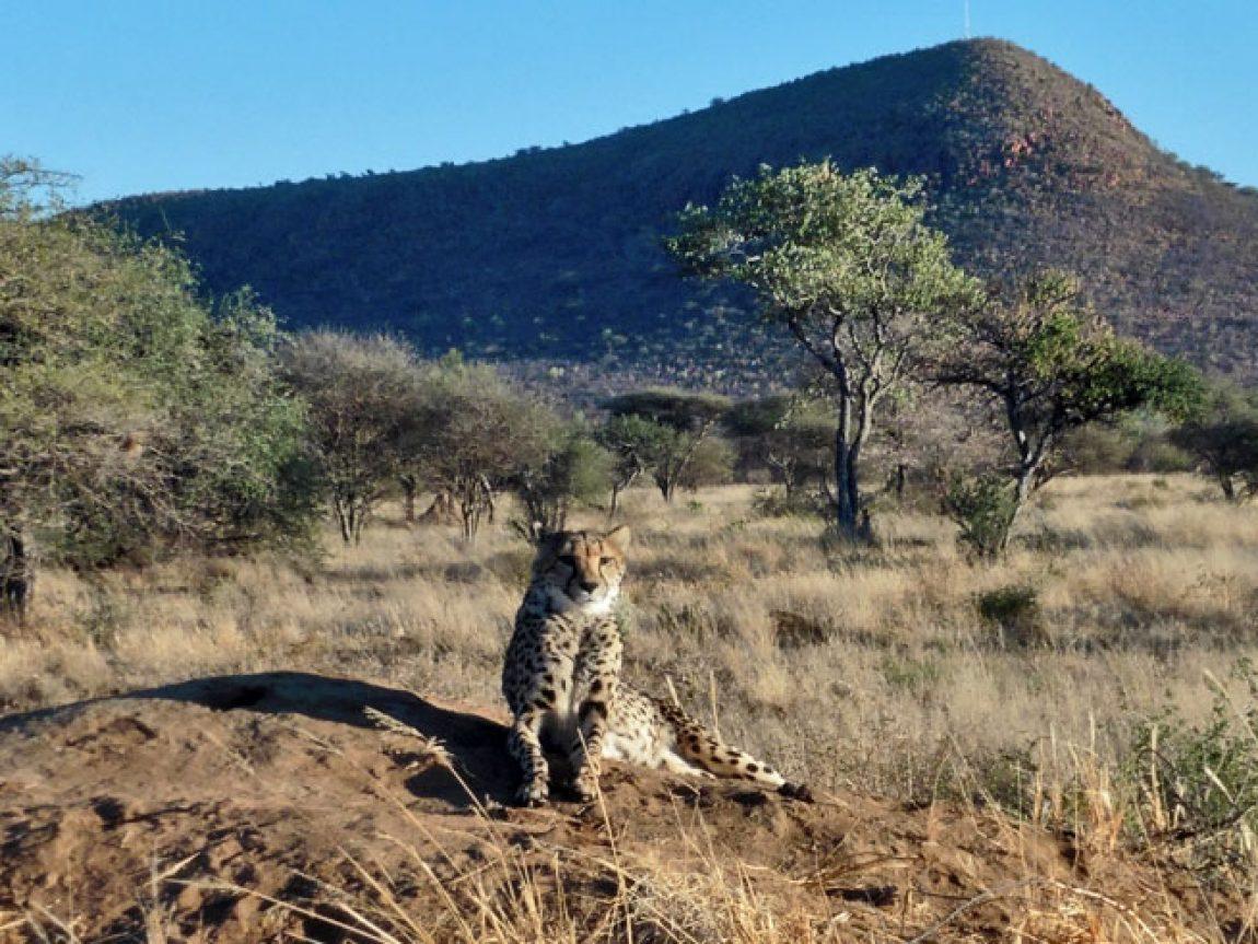 namibia africat carnivore care cheetah lh