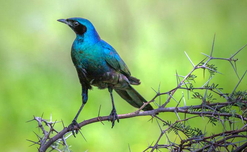 namibia birdlife glossy starling rth