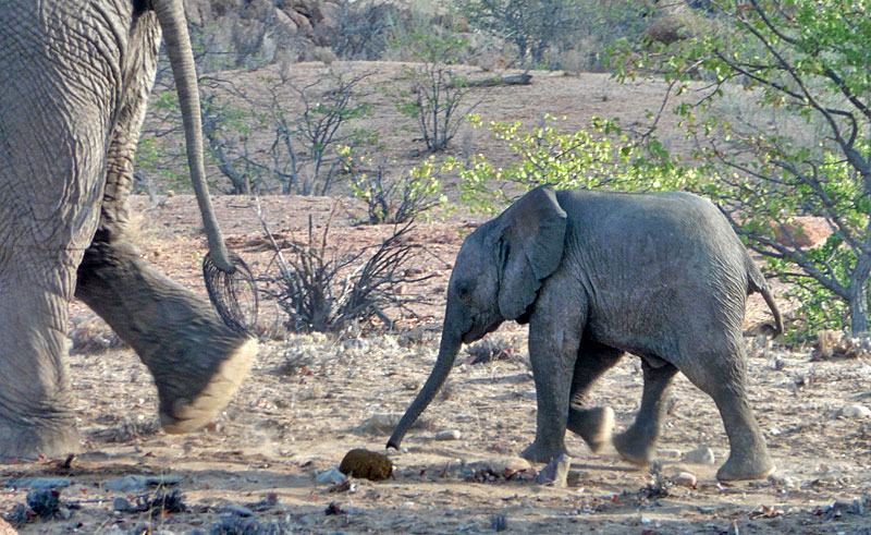 namibia damaraland baby elephant lh