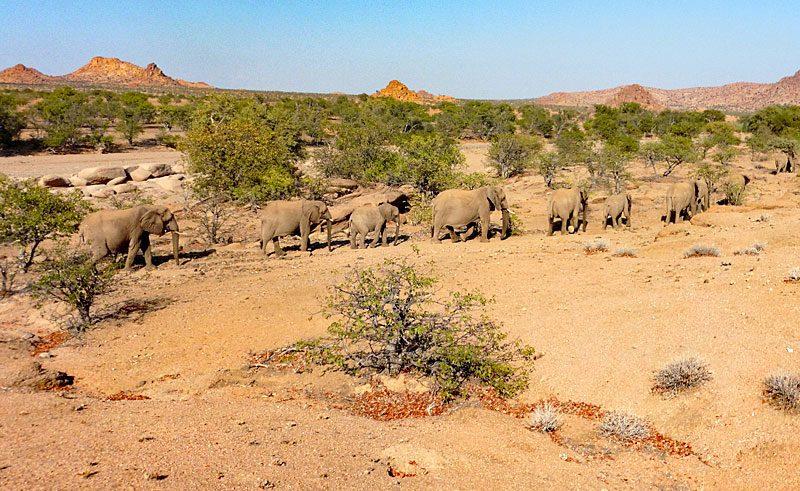 namibia damaraland elephants lh