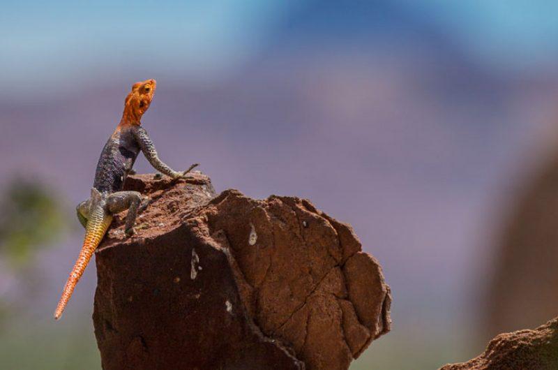 namibia damaraland twyvelfontain lizard rth