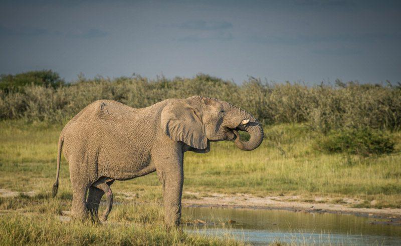namibia etosha elephant rth