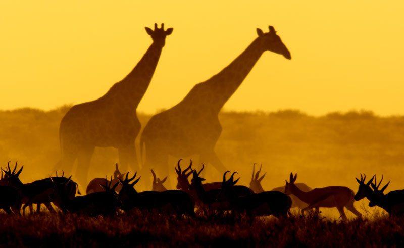 namibia etosha giraffes and antelope silhouette istock