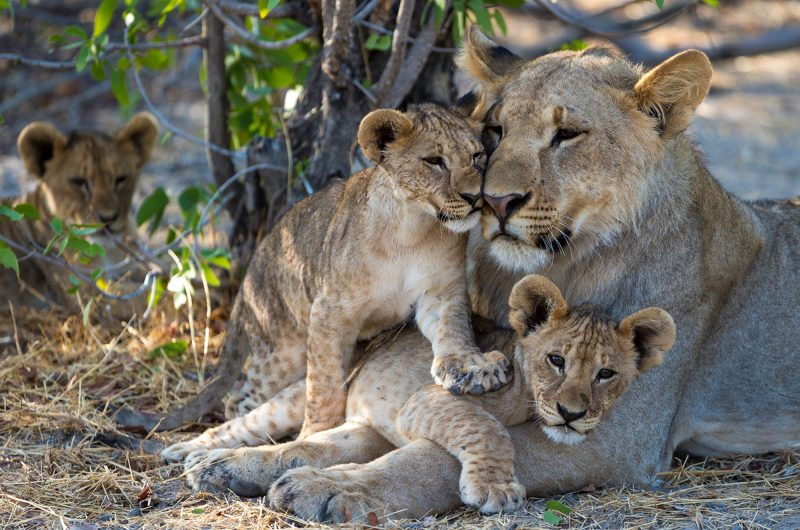 namibia etosha lions ongava camp