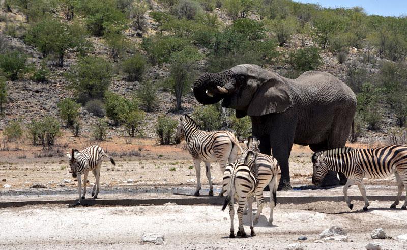 namibia etosha waterhole elephants and zebra djb