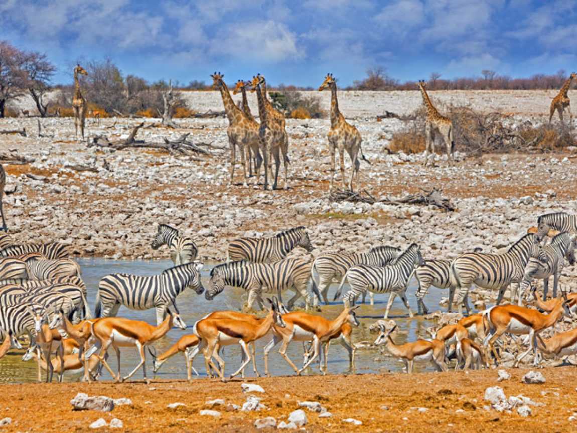 namibia etosha wildlife at okaukuejo waterhole istock