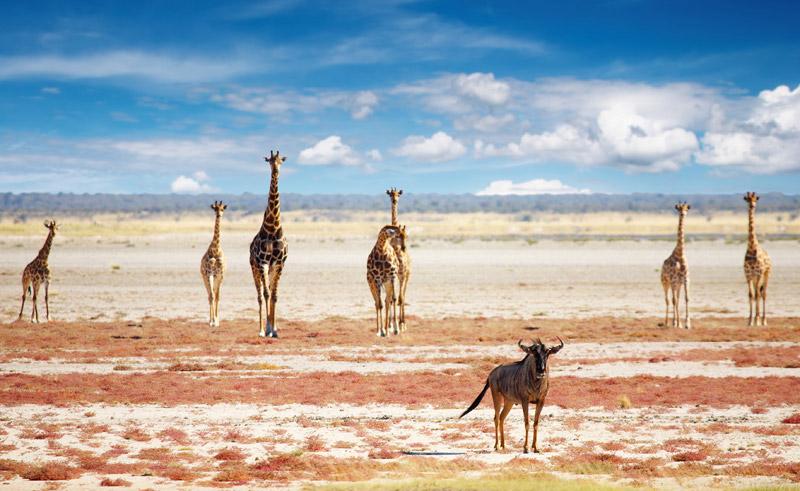 namibia etosha wildlife giraffes istock