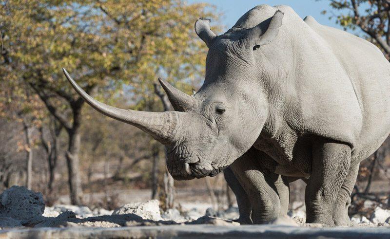 namibia etosha wildlife rhino at ongava