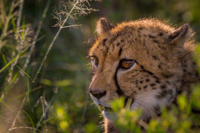 namibia okonjima cheetah rth