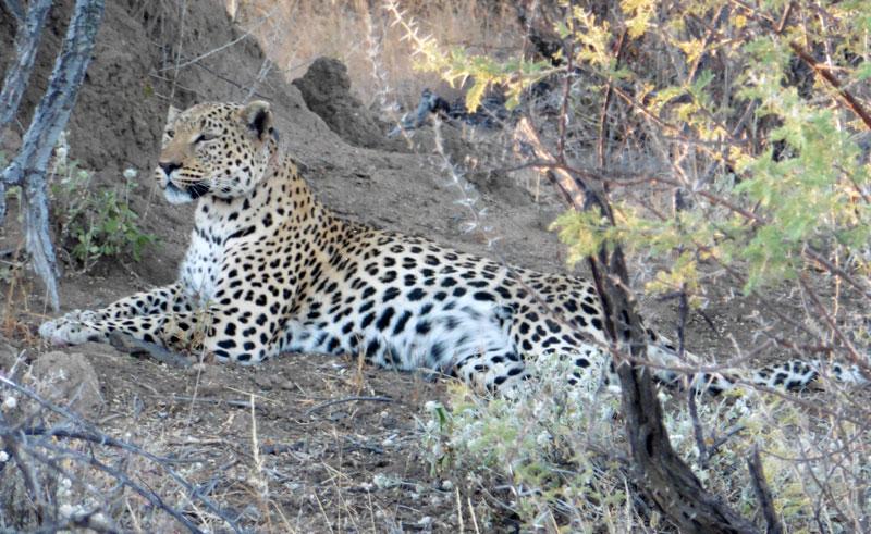 namibia okonjima leopard lh