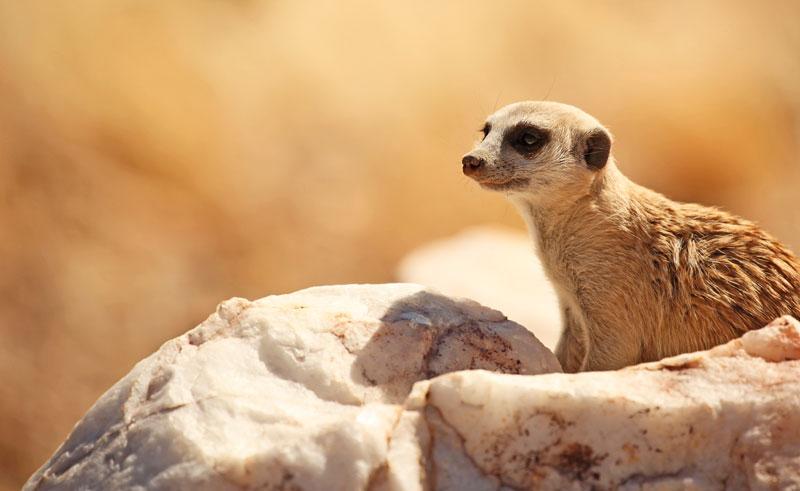 namibia sossuslvei namib desert meerkat istk