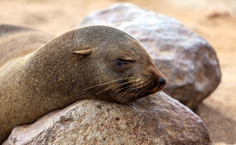 namibia swakopmund cape fur seal resting rth