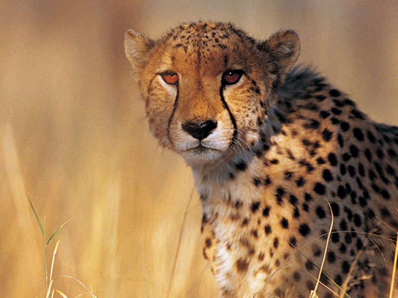 namibia wildlife cheetah up close rh