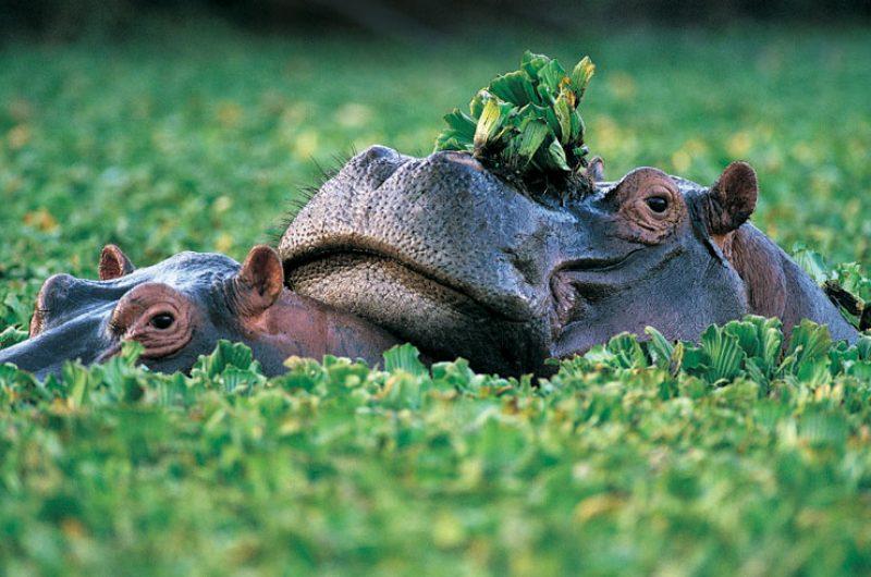 namibia wildlife hippos rh