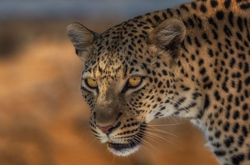 namibia wildlife leopard closeup rth