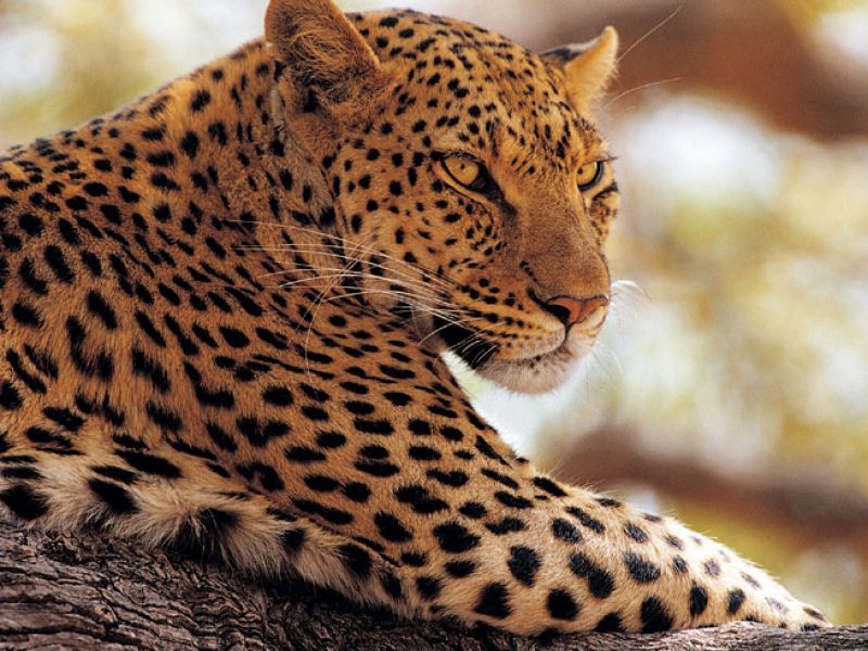 namibia wildlife leopard resting in tree rh