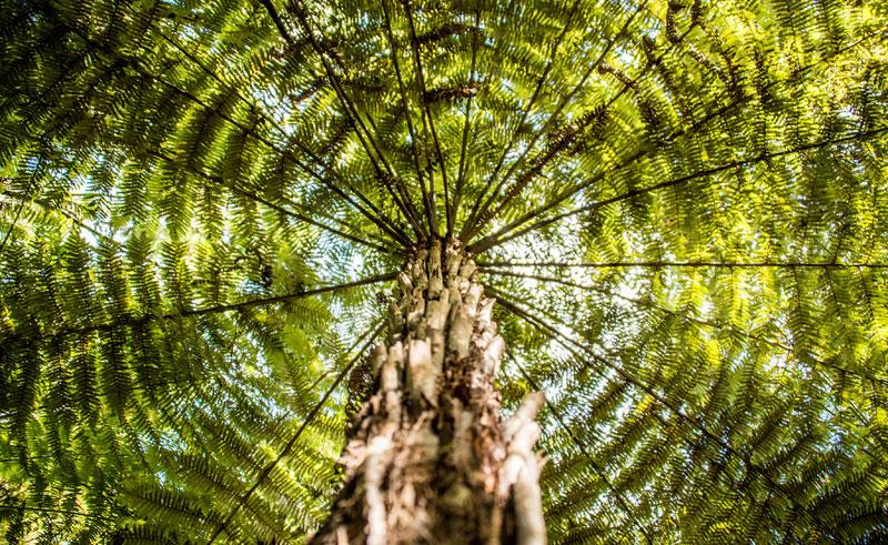 new zealand au kauri tree istock