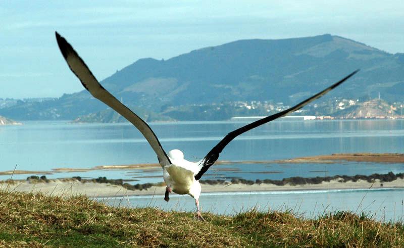 new zealand dunedin albatross td