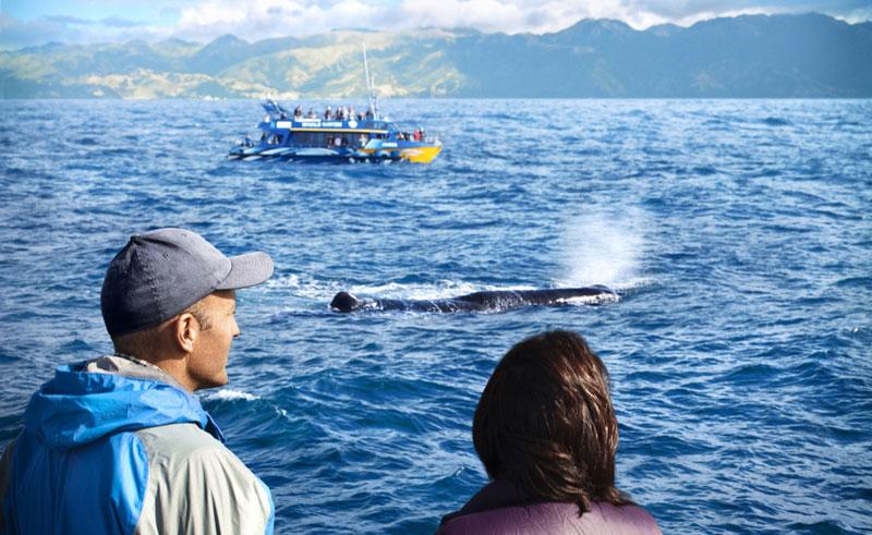 new zealand kaikoura whale watch tnz