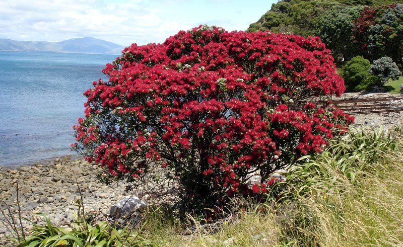 new zealand kapiti island pohutukawa tree kia