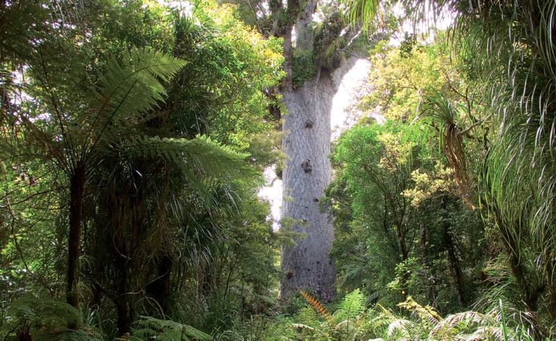 new zealand northland waipoua forest tane mahuta dn