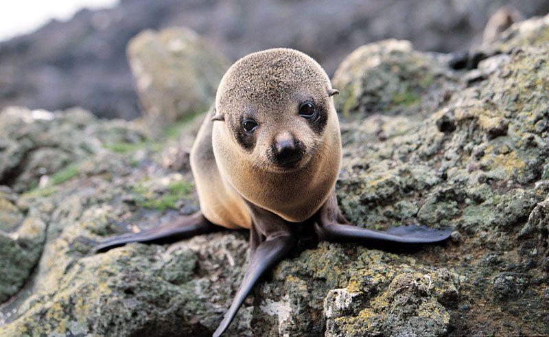 new zealand otago peninsula fur seal pup td
