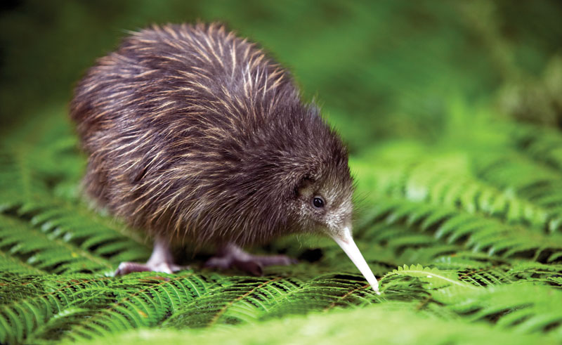 new zealand rotorua rainbow springs kiwi encounter dr