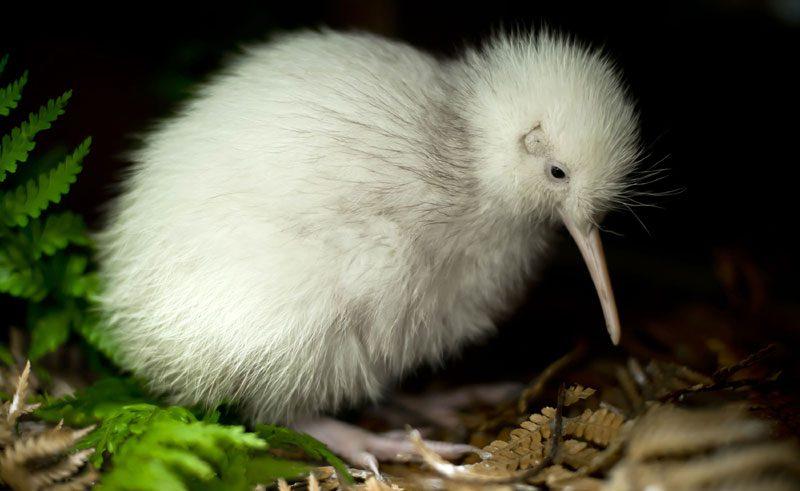 new zealand wairarapa mt bruce white kiwi dw