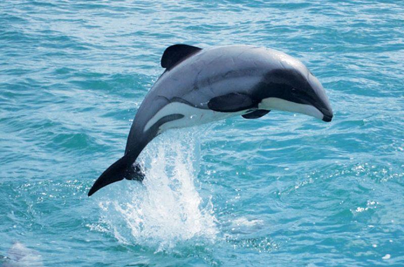 new zealand wildlife hectors dolphin bcc