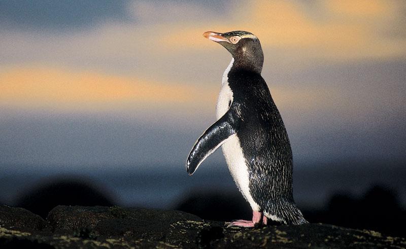 new zealand wildlife yellow eyed penguin tnz