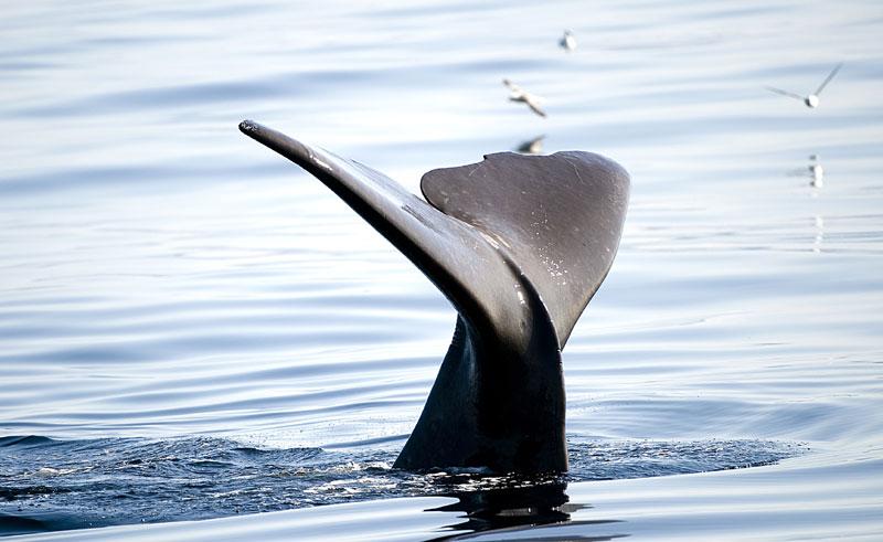 norway lofoten vesteralen sperm whale
