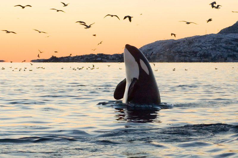 norway orca spy hopping sunset istk