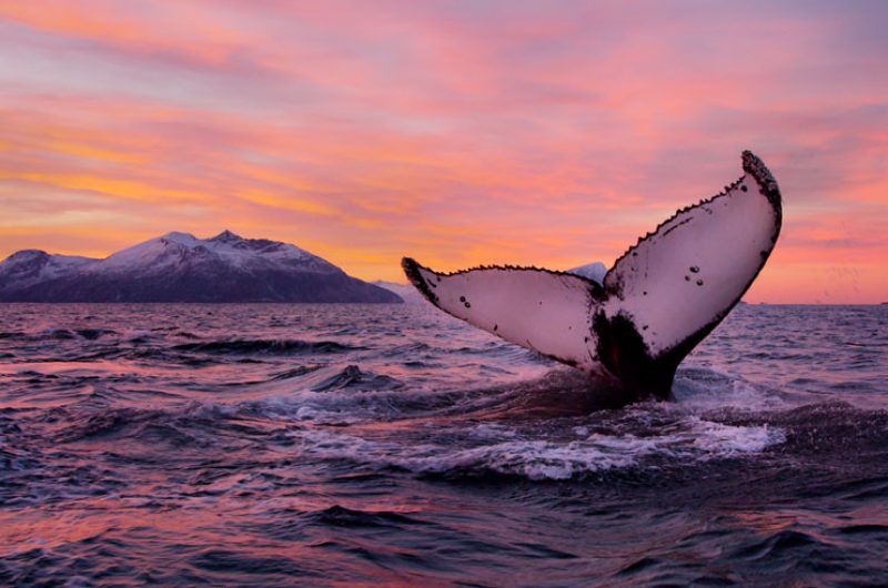 norway wildlife humpback whale tail vn