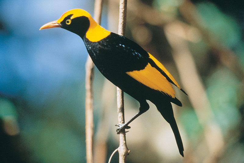 oreillys rainforest retreat regent bowerbird