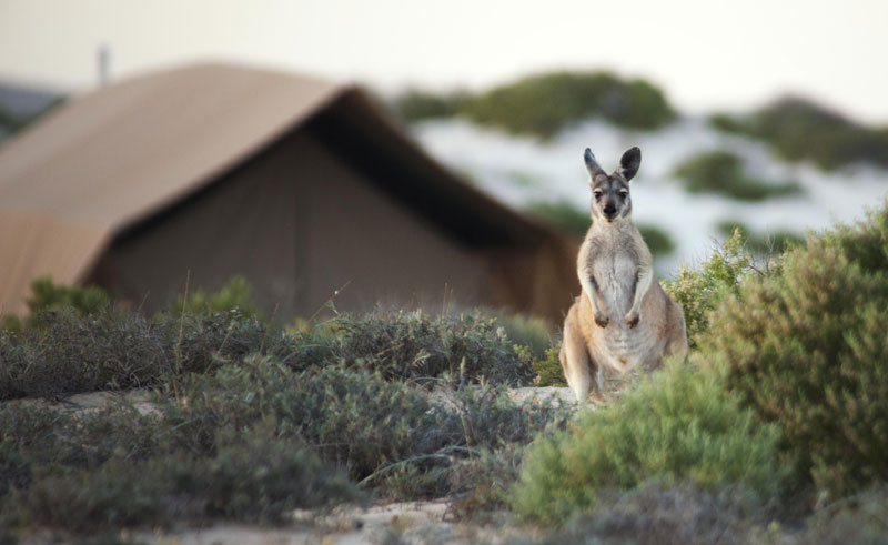 sal salis tents kangaroo