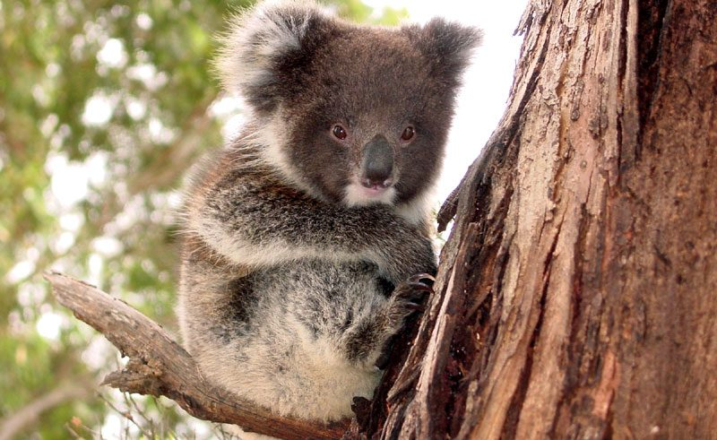 south australia kangaroo island koala