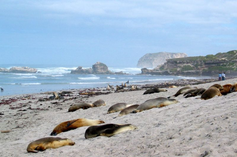 south australia kangaroo island seal bay satc